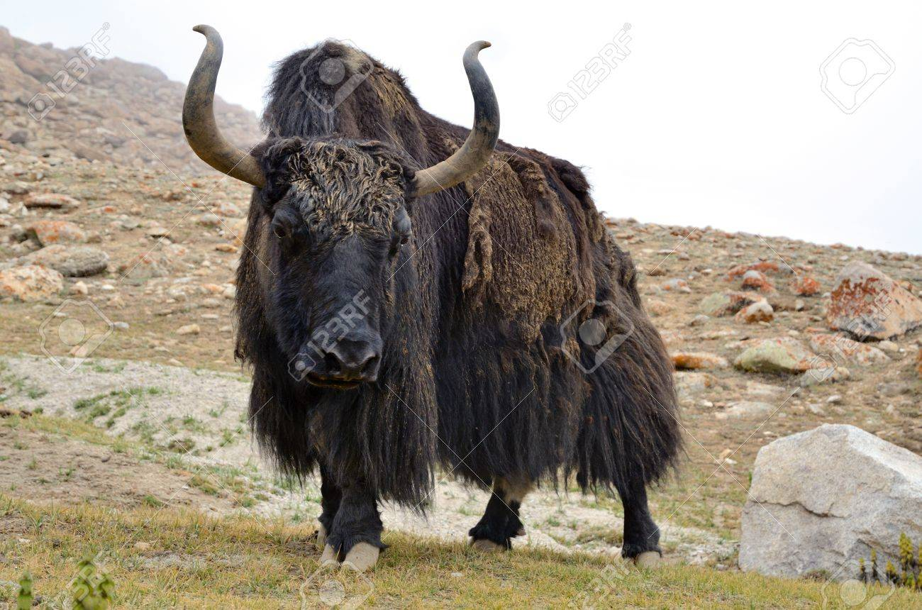 Het Yak rund